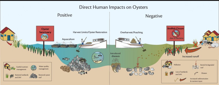 (Credit: Oyster Ecosystem Impacts Diagram produced by EcoCheck)